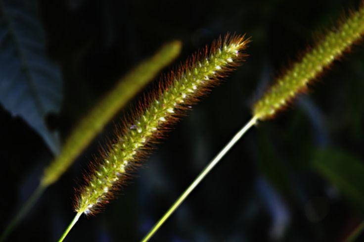 polní tráva