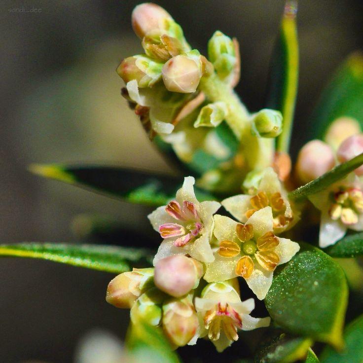 Monotoca elliptica  Tree Broom Heath an Ericaceae   Wyrabalong National Park South 22/7/15
