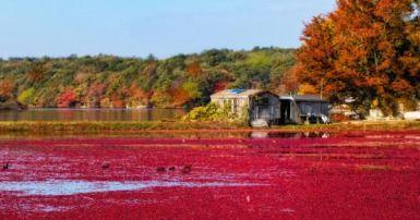 Cranberry bog, Nantucket