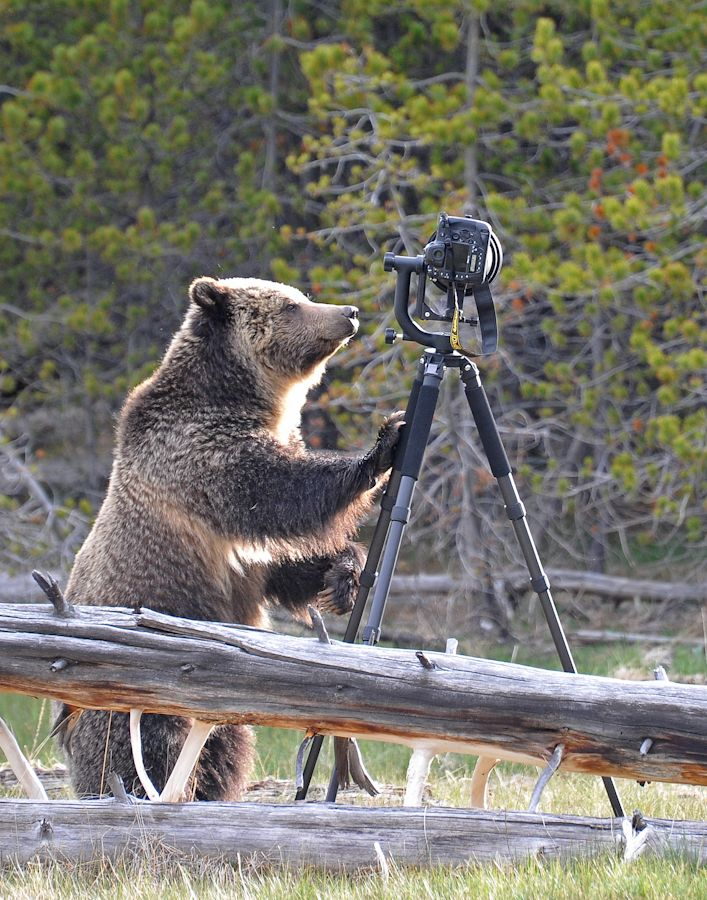 Nikon D4 - so durable it can withstand the weight of a bear.