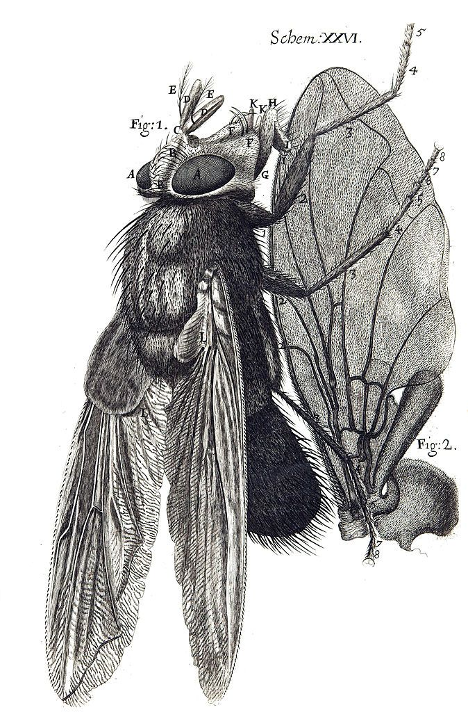 A Diagram of a fly from Robert Hooke's innovative Micrographia, 1665