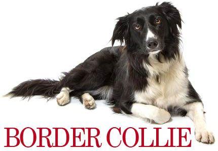 Border Collie  Border Collie racen er en mellemstor og intelligent hund, som er meget populær i agility konkurrencer, eftersom hunden er meget atletisk, akrobatisk og fuld af energi.  #collie #bordercollie #hvalpe #hunde #hunderacer