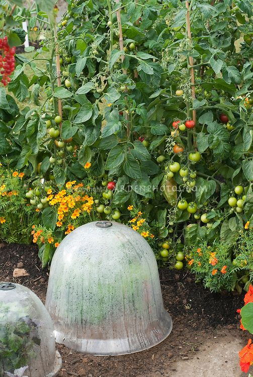 Tomatoes, tagetes, bell jars cloche protection in vegetable garden