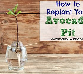 How To Replant Your Avocado Pit