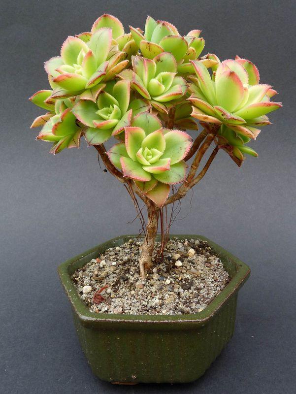 6 - Aeonium haworthii 'Kiwi'