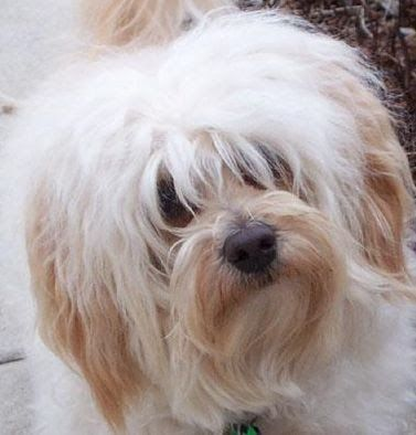 The Havanese breed is truly the embodiment of the toy dog. Even the American Kennel Club recognizes its character as being rather playful th...