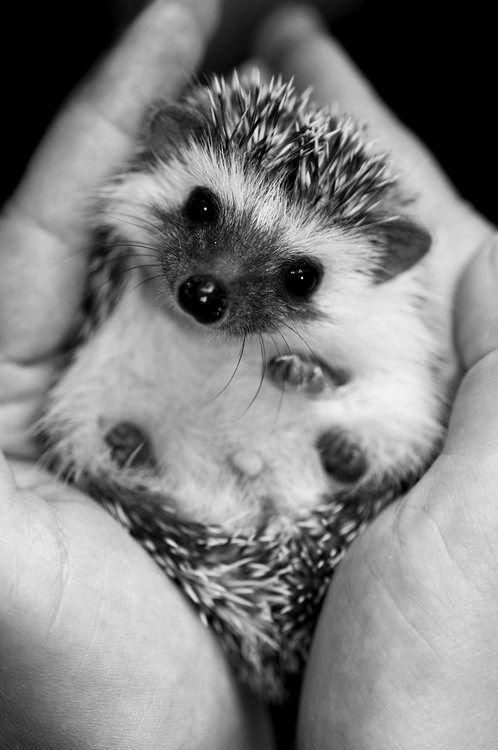 Hedgehog baby.