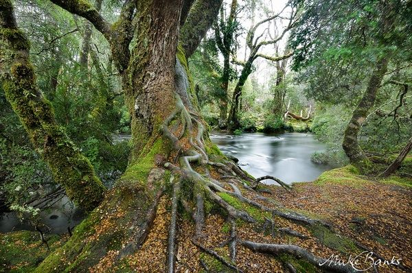Pristine Rainforest, Cradle Mountain, Tasmania