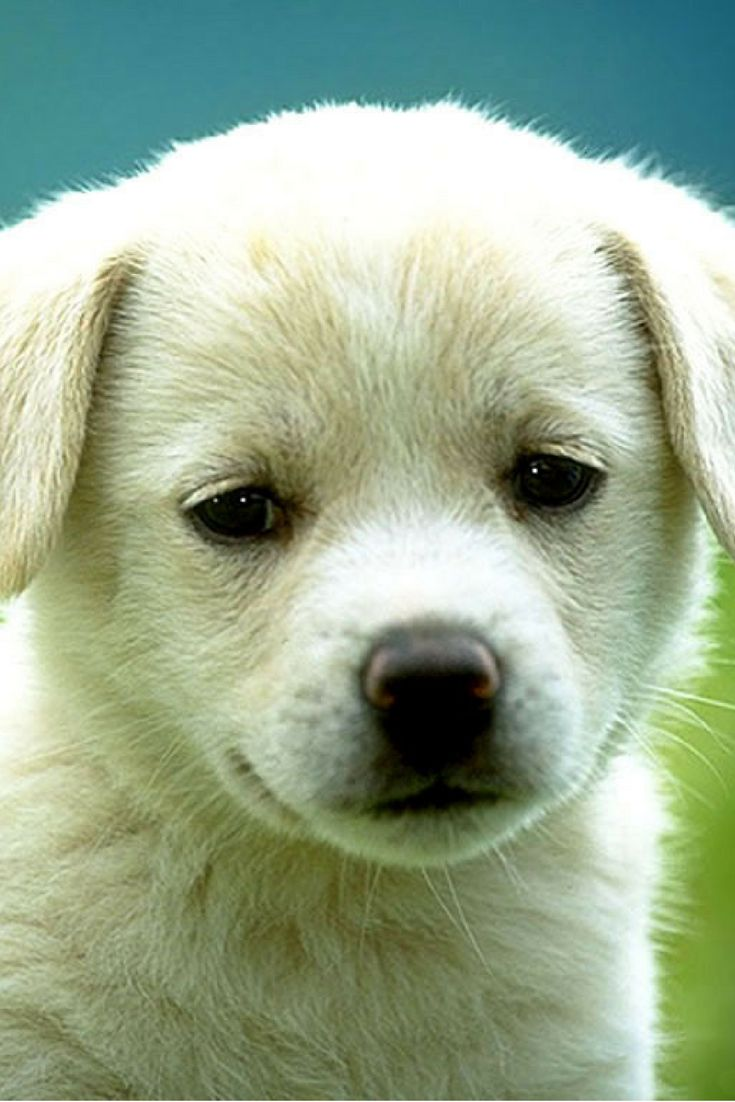 354 best cute puppies images on pinterest cute puppies