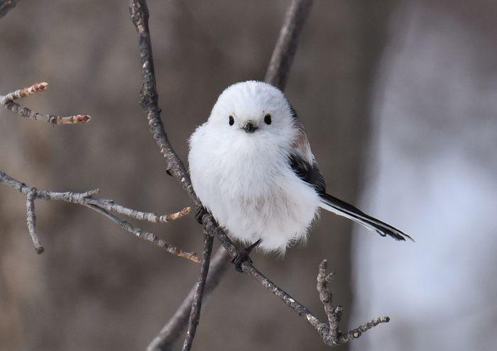 筆者が北海道で出会ってみたい鳥の一つ、シマエナガ。白いふわふわの羽根とつぶらな瞳がかわいいんです。