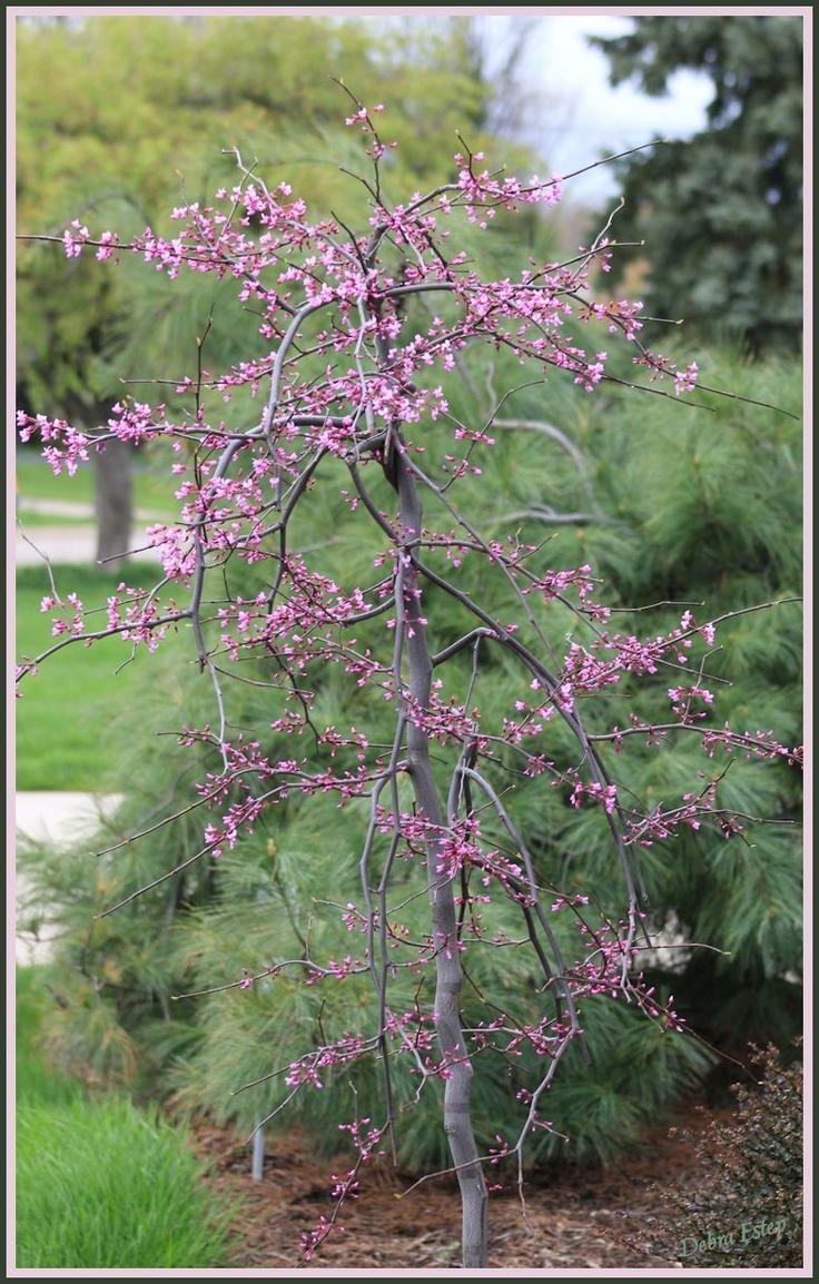 Miniature Red Bud Tree Fairy Garden Ideas Garden Rose