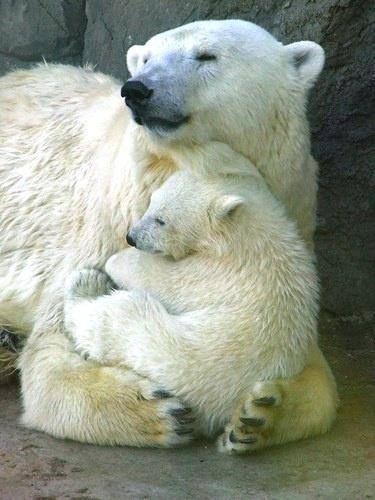Mama and baby polar bear snuggling