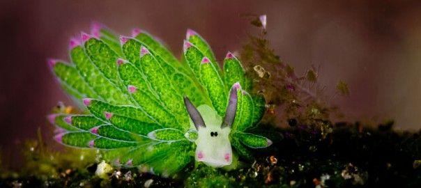 【まるでポケモン】世界一キュートなウミウシが発見された | CuRAZY [クレイジー]