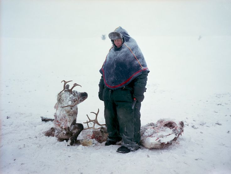 Sven Skaltje found the carcasses of two female reindeer whose antlers became entangled during a dominance struggle. He estimated it took them three days to die of starvation. Sweden, 2011 / Three Years Photographing the Sami People - NYTimes.com