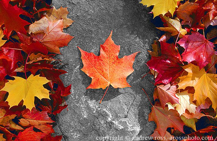 Canada just wouldn't be the same without it's countless maple leaves.