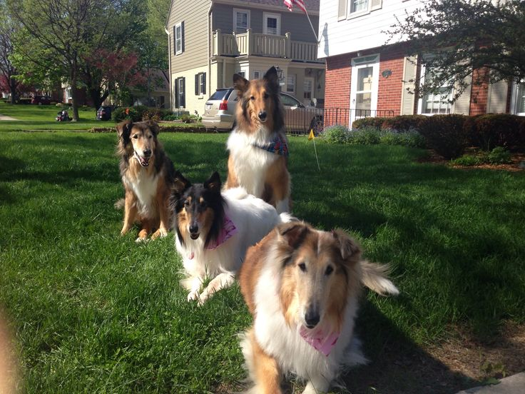 Rough collie rescues Charlie, Ollie, Meggie and Willow!