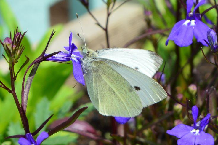 Butterfly In Ava's Garden