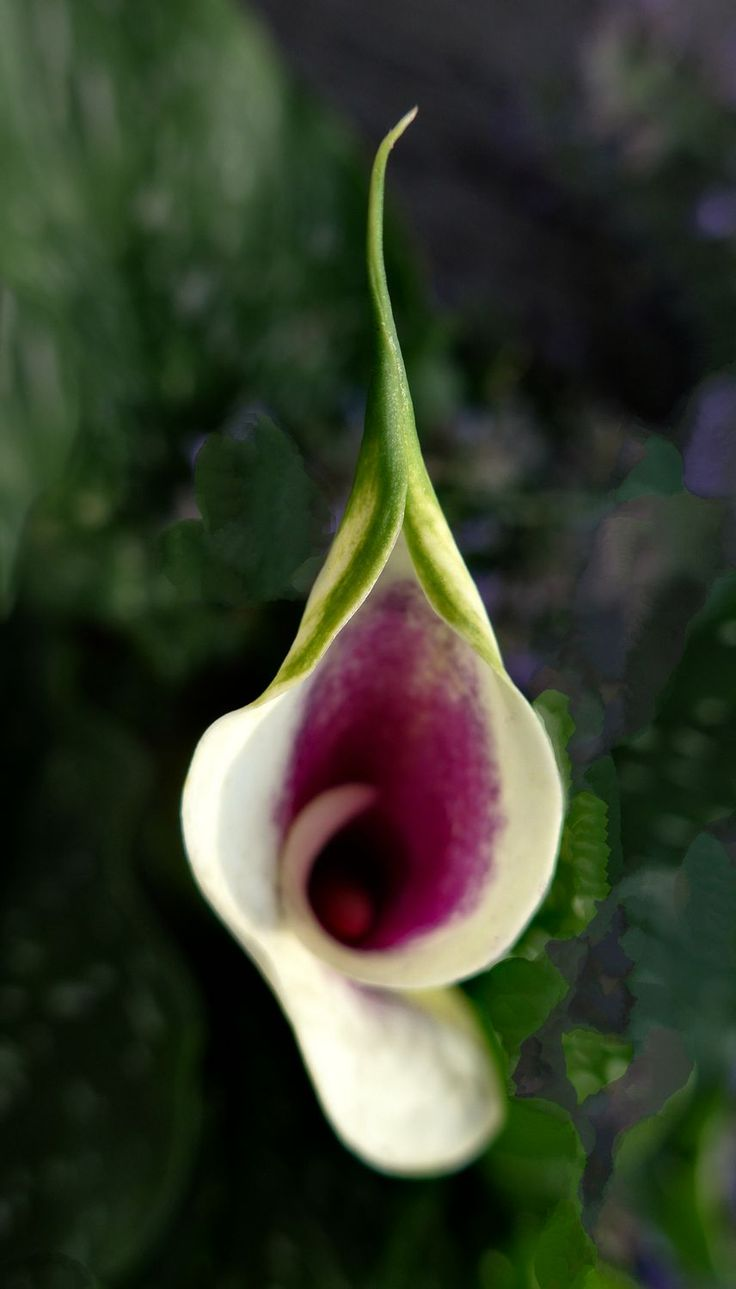 Calla lilly in the manner of Georgia O'Keeffe  - by Tony Karp – http://timuseum.com