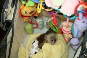Capuchin Monkey Needs a New Family.