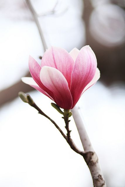 #Magnolia My Favorite Flower together with peonies