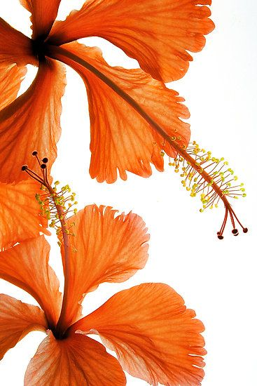 Hibiscus falling