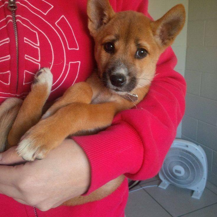 roarforpaws.com baby Australian Dingo...beautiful
