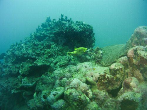 Samoa Diving Holiday - A yellow pufferfish