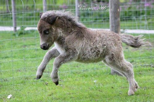 Shetland veulentje 1 maand oud
