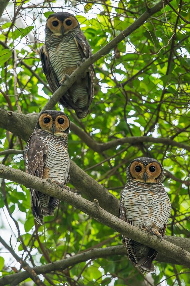 3 is my lucky number. Spotted Wood Owls standing close to each other. Taken in Bidadari Park, Singapore.
