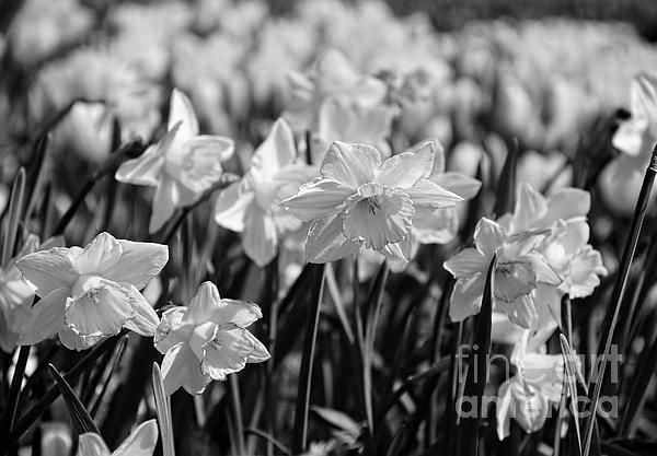 #DAFFODIL #GLOW #MONOCHROME by #Kaye #Menner #Photography Quality Prints Cards Products at: http://kaye-menner.pixels.com/featured/daffodil-glow-monochrome-by-kaye-menner-kaye-menner.html