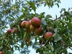 Plums, Plum Tree, Branch, Fruit, Ripe