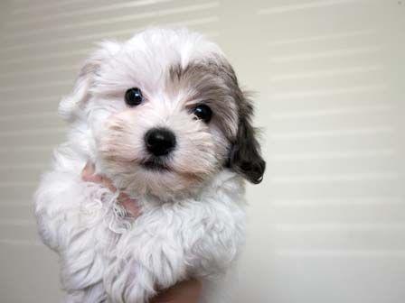 Havanese Puppies Utah-Havanese Puppies For Sale-Past Havanese ...