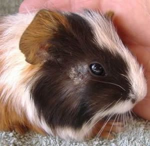 Photo gallery of common health problems with guinea pigs, and suggested options for treatment