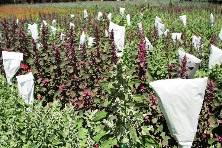 quinoa chudne