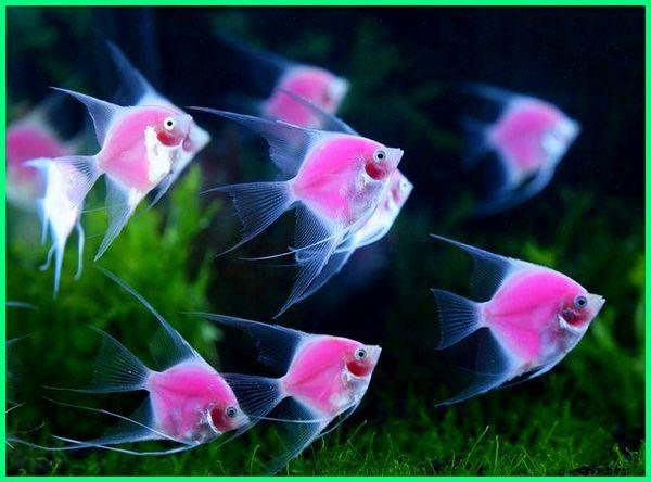Manfish Si Angelfish Ikan Bidadari Air Tawar Ikan Tropis Besar Dan Rakus Ikan Tropis Ikan Binatang