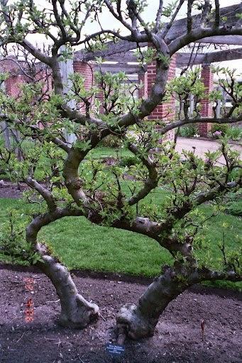 Les 16 meilleures images du tableau fruitiers en palissage trained fruit trees sur pinterest - Quand tailler arbre fruitier ...