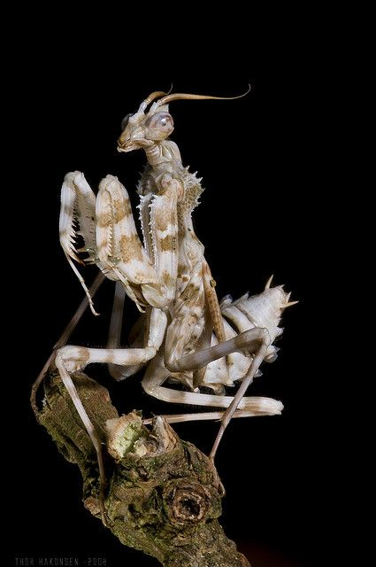 Devil's flower mantis (Blepharopsis mendica) Found in North Africa and the Canary Islands, the devil's flower mantis is also known as the Egyptian flower mantis, or the thistle or Arab mantis. Like its larger cousin, the giant devil's flower mantis, ✏✏✏✏✏✏✏✏✏✏✏✏✏✏✏✏ IDEE CADEAU   ☞ http://gabyfeeriefr.tumblr.com/archive .....................................................   CUTE GIFT IDEA  ☞ http://frenchvintagejewelryen.tumblr.com/archive   ✏✏✏✏✏✏✏✏✏✏✏✏✏✏✏✏