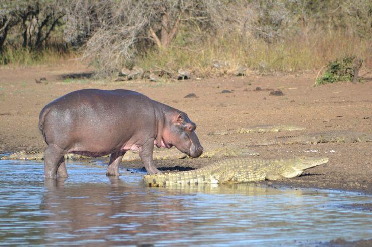 Hippo and Crocs