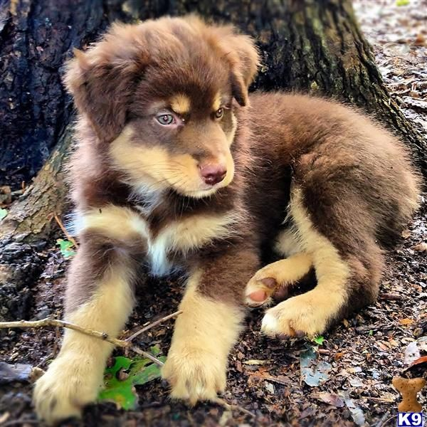 red Australian Shepherd pup