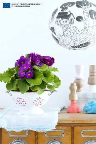Make your Primula stand out in a neutral planter