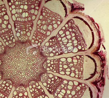 microscopic cross section of clematis root • tom grundy