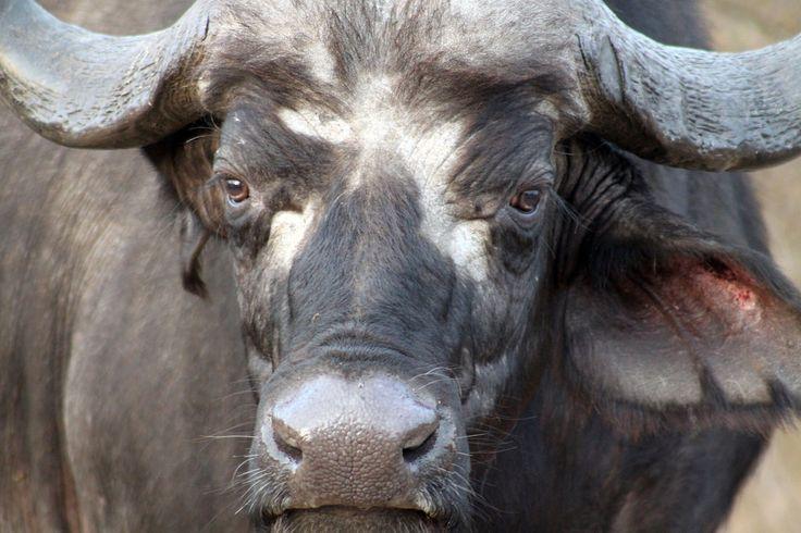 Buffalo, Kruger National Park, South Africa