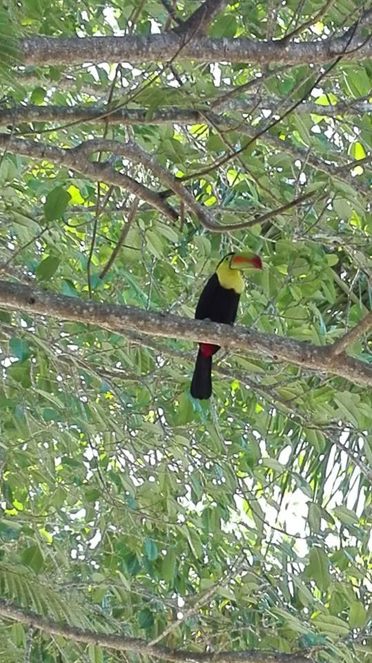 #ECOHOTELS #SWD #G2S Hotel Akumal Caribe added 5 new photos to the album: A Toucan Sighting on the Property! — at Hotel Akumal Caribe. Could be the same one sighted at the CEA property! http://green2stayecotourism.webs.com/mex-sth-america-eco-hotels