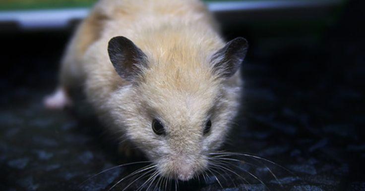 Como diferenciar hamster macho de hamster fêmea. Colocar dois hamsters juntos é uma boa ideia, a menos que você não saiba seus sexos. Se você, sem saber, compartilhar um mesmo espaço com um macho e uma fêmea, inevitavelmente, terá filhotes de hamsters a caminho. Por outro lado, se você está tentando fazer seus hamsters reproduzirem, é essencial saber o sexo deles. Visto que, hamsters são ...