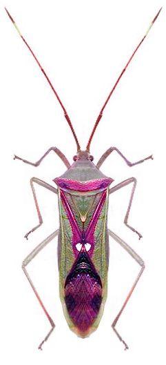 Homoeocerus sp.