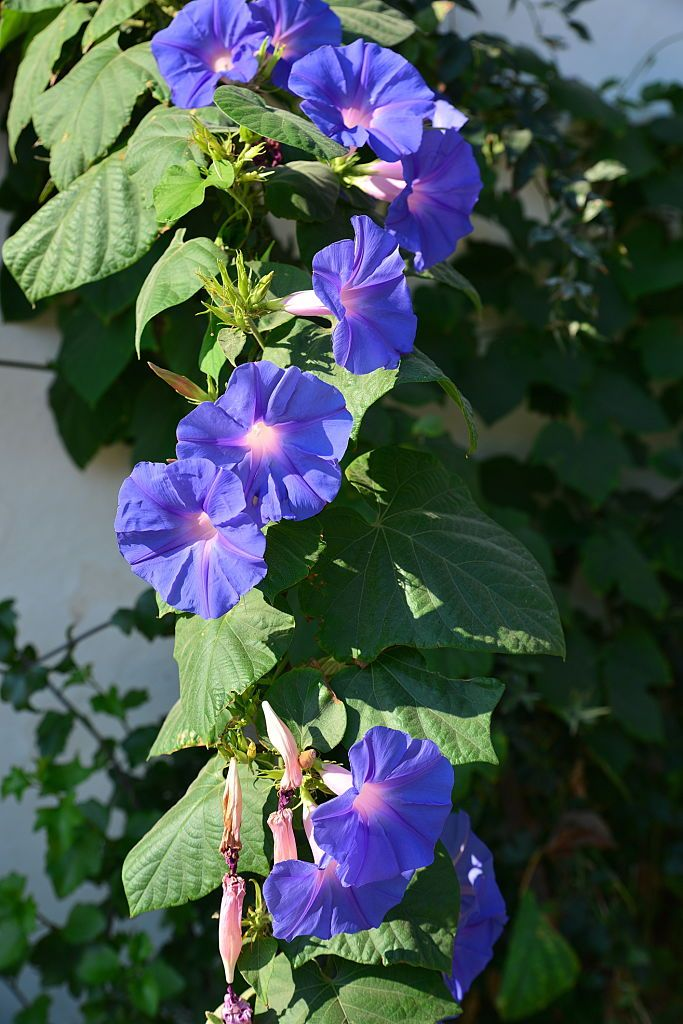 Blue Morning Glory Flowers In Full Bloom In The Morning Sunlight This In 2020 Morning Glory Flowers Blue Morning Glory Morning Flowers
