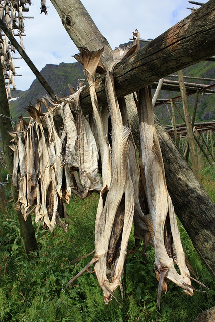 Ah-ha!  The beginning of that wonderful (?)lutefisk, cod hung out to dry.