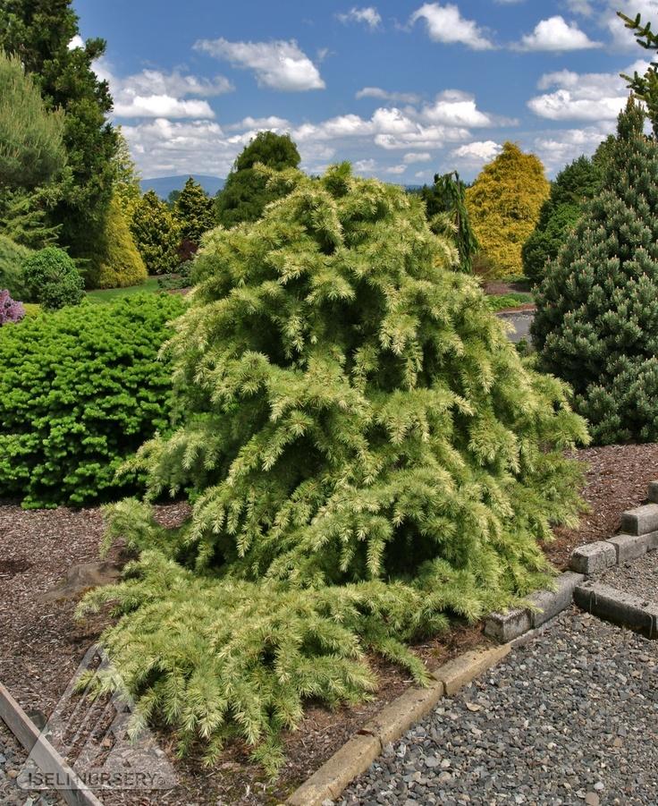 Kigi Nursery - Cedrus deodara ' Snow Sprite ' White Tipped Himalayan Cedar, $20.00 (http://www.kiginursery.com/dwarf-miniatures/cedrus-deodara-snow-sprite/)