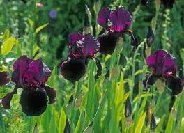 Iris 'Black Swan'..A girl can never have enough Iris's!
