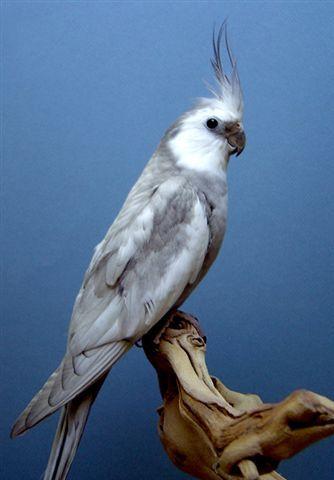 Dominant Silver White-Face Cockatiel | Pet birds parrots